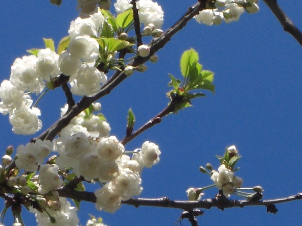 White Blooming Cherry Tree